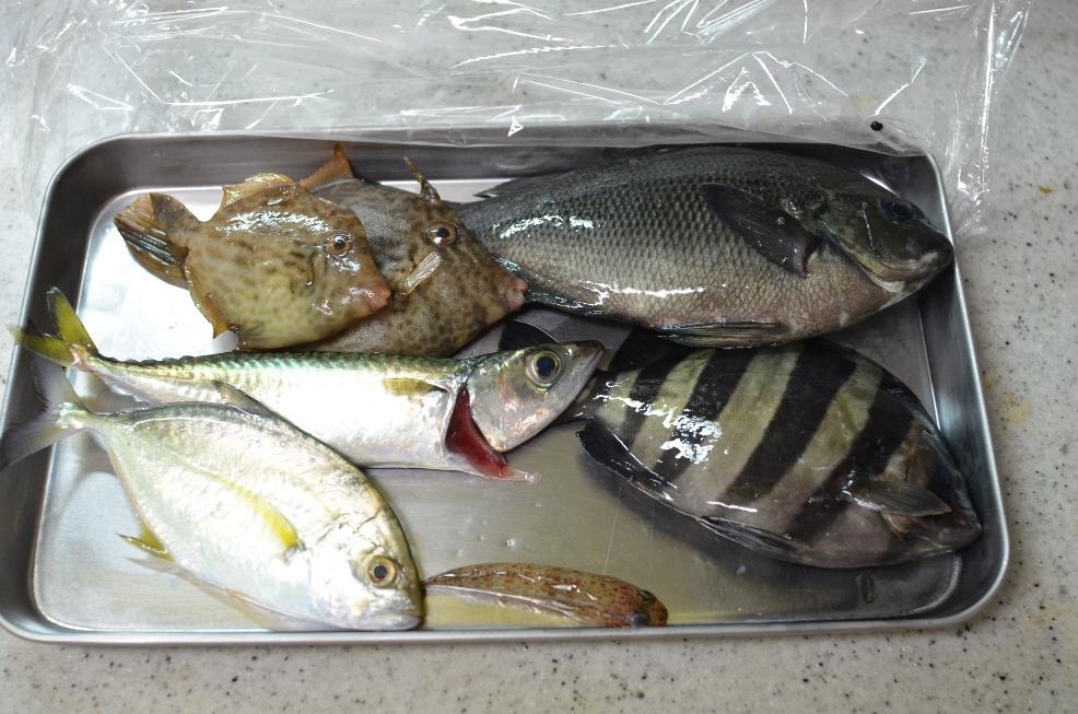9月に堤防から釣った魚達。