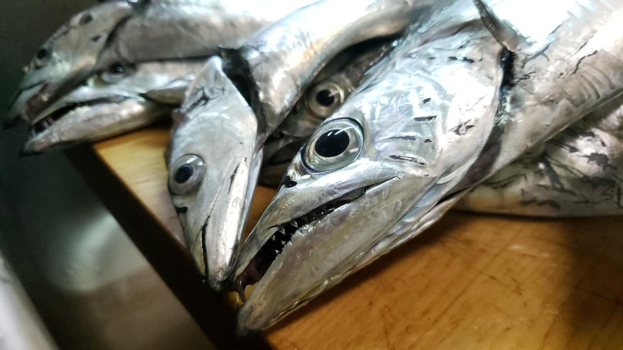 歯が非常に危険な魚