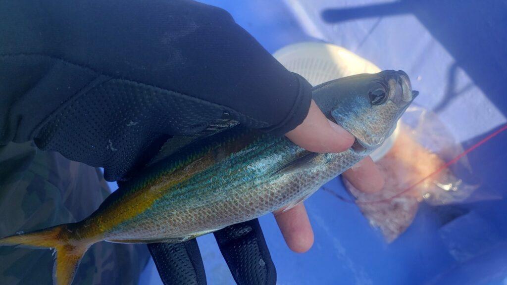 水面下の群れはタカベ!塩焼き専門の小魚。